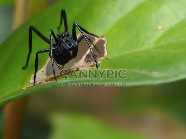 Black jumping spider - Free image #297599