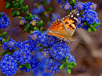 California lilac and Painted Lady butterfly - бесплатный image #298539