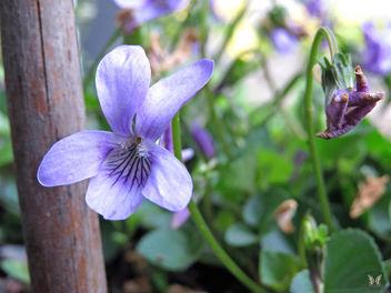 Sweet Violet - image gratuit #298629
