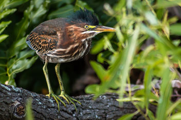 Green Heron (Butorides Striatus) - бесплатный image #298689
