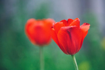 tulips - Kostenloses image #298909