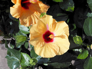 Hibiscus. - Free image #299029