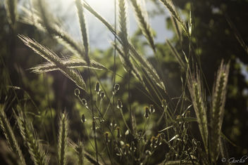 Wheat? - image #299099 gratis