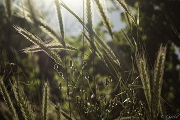Wheat? - бесплатный image #299099
