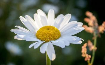summer daisy - image gratuit #299139