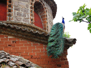 Greece (Lesvos Island)-Peacock living in St. Ignatios Monastery - Free image #299269