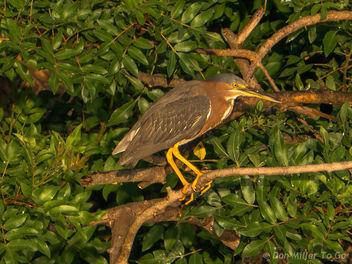 Green Heron - бесплатный image #299579
