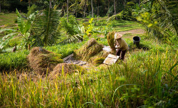 the rice terrace II (Bali) - image #299909 gratis