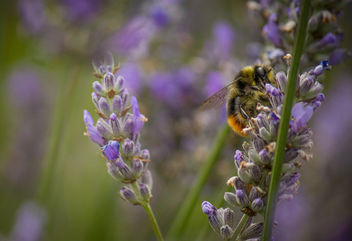 Lavender bee - Free image #299939