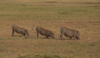 Kenya (Masai Mara) Warthog family in line position - Kostenloses image #300529