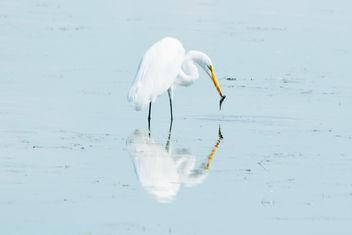 Horicon Marsh Egret - image #300589 gratis