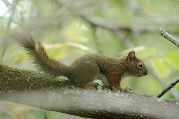 juvenile squirrel - image #301239 gratis