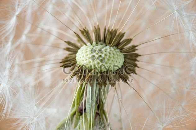 Beautiful dandelion flower - Free image #301379
