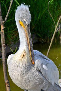 American pelican portrait - image #301629 gratis