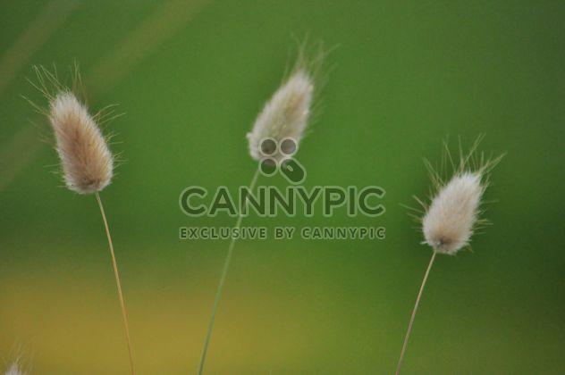 Macro d'herbe trois - image gratuit #303959