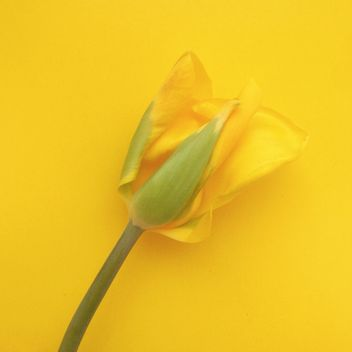 yellow tulip on yellow background - image gratuit(e) #304119