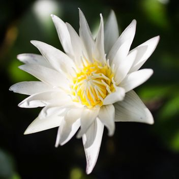 White lotus - Free image #304459