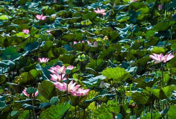 Water lilies on a pond - image #304469 gratis
