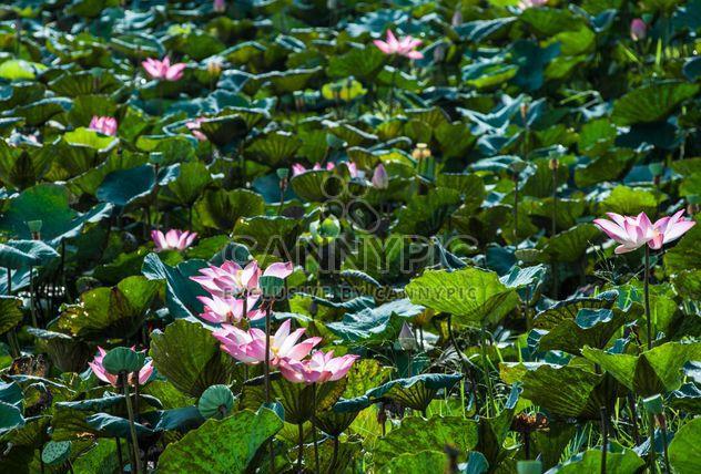 Nénuphars sur un étang - image gratuit(e) #304469