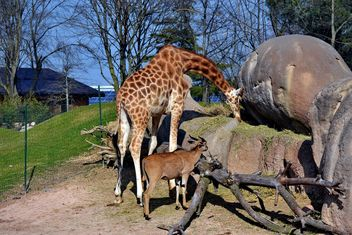 giraffe and antelope in park - image #304509 gratis