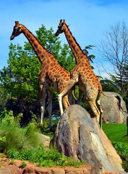 giraffes mature - image #304529 gratis