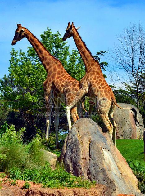 girafes mature - image gratuit #304529