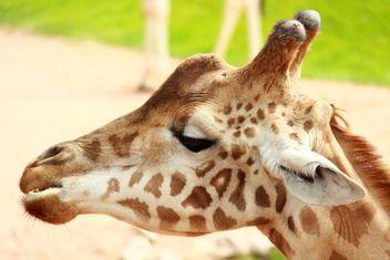 Portrait of a Giraffe - image #304539 gratis