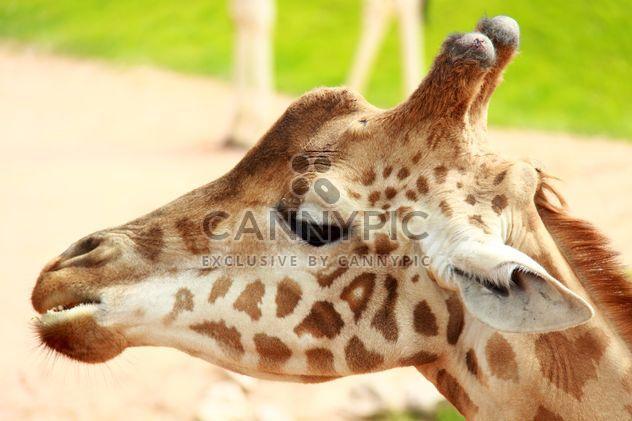 Porträt einer Giraffe - Kostenloses image #304539
