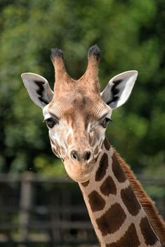 Giraffe portrait - Free image #304549