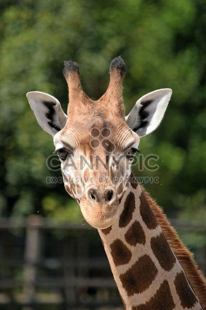 Giraffe-Portrait - Kostenloses image #304549