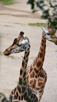 Giraffes in park - image #304559 gratis
