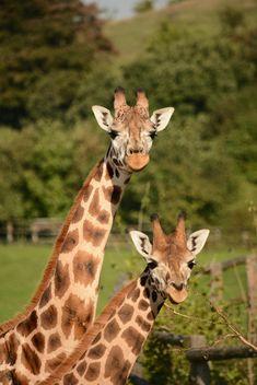 Giraffes in park - image #304569 gratis