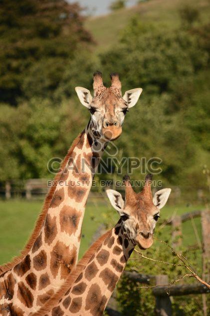 girafes au parc - Free image #304569