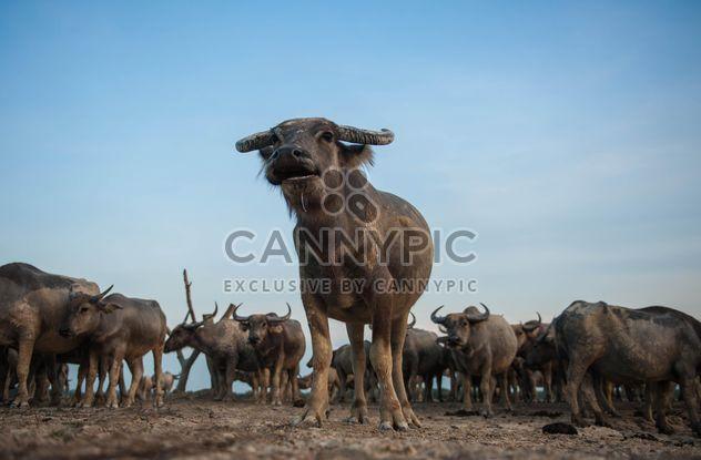 Manada de búfalos - image #304749 gratis