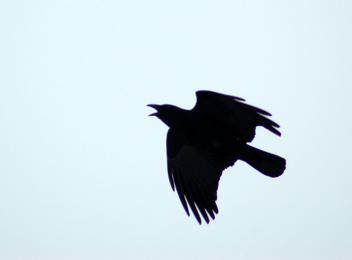 Crow - image #305939 gratis