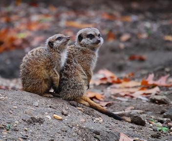 Meerkat - Kostenloses image #305979