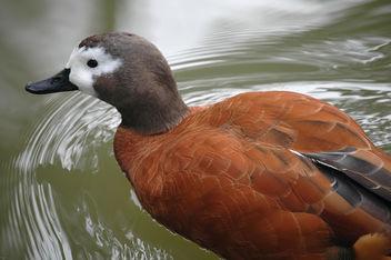 Duck - Free image #305989