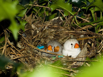 Nesting Zebra Finches - Free image #306039