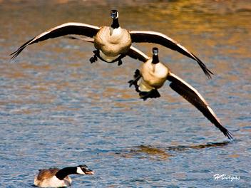 Goose landing1 - Free image #306069