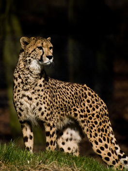 Cheetah - Free image #306089