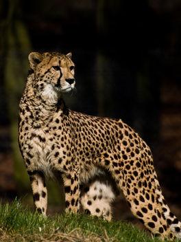 Cheetah - image gratuit #306089