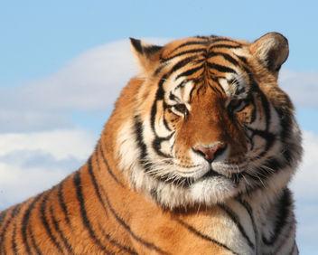 Tiger - image #306099 gratis