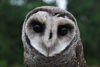 Lesser Sooty Owl at Bonadio's Mabi Wildlife Reserve - бесплатный image #306159
