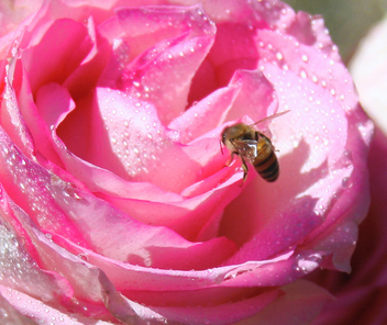 Sweet Nectar after a Light Sun Rain Shower, Pink Romantic Red Rose Petals & Landing Bumble Bee Guest Getting a Drink - Free image #306179