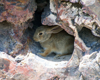 Petrified Forest National Park animal: desert cottontail rabbit - image gratuit #306229
