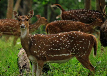 Chital - (Spotted Deer) - Free image #306359