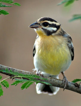 Golden-breasted Bunting: Emberiza flaviventris - image #306389 gratis