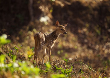 Baby Spotted Deer | Kabini - Kostenloses image #306429
