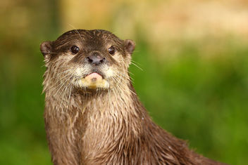 Otter - Cotswold Wildlife Park - Free image #306499