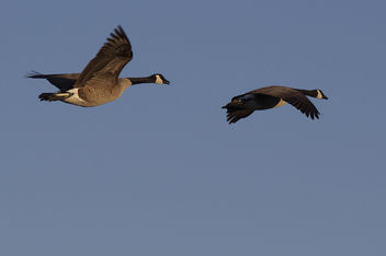 Pair in Flight - Free image #306559